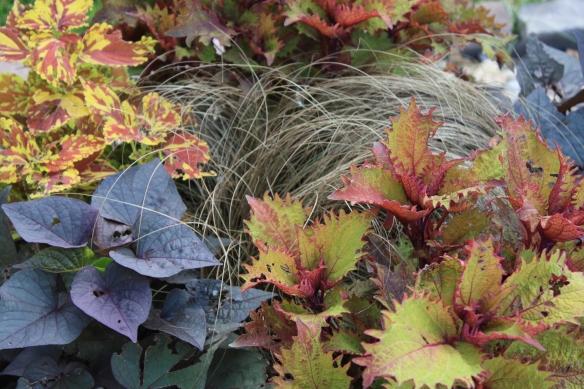 colorful coleus . . . .