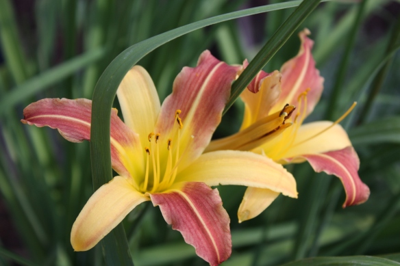 day lillies . . . .