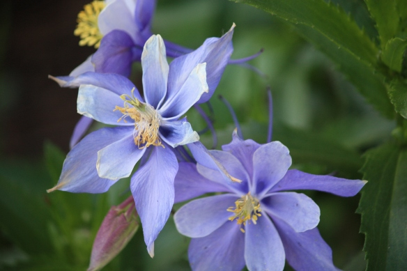 cheerful columbines . . . .