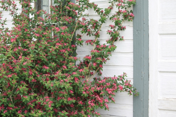 Honeysuckle at homestead house . . . .