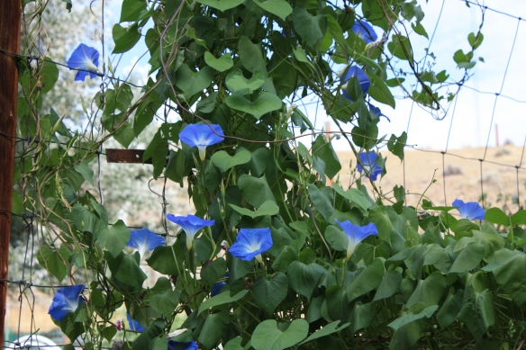 Morning Glories at last . . . .