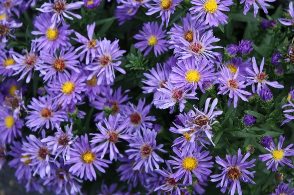 Autumn asters just in time . . . .