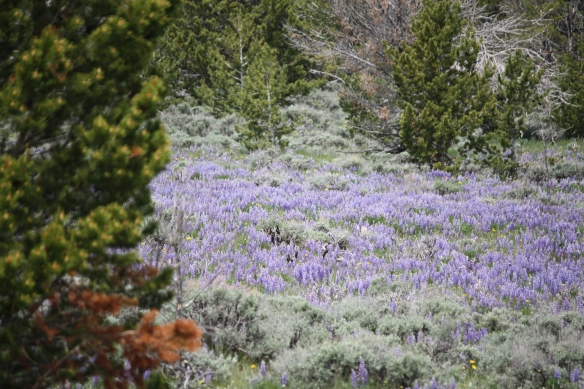 Lupine meadow takes our breath away . . . .