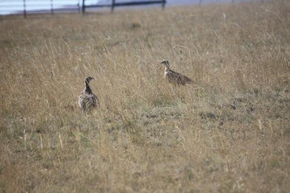 prairie chickens . . . .