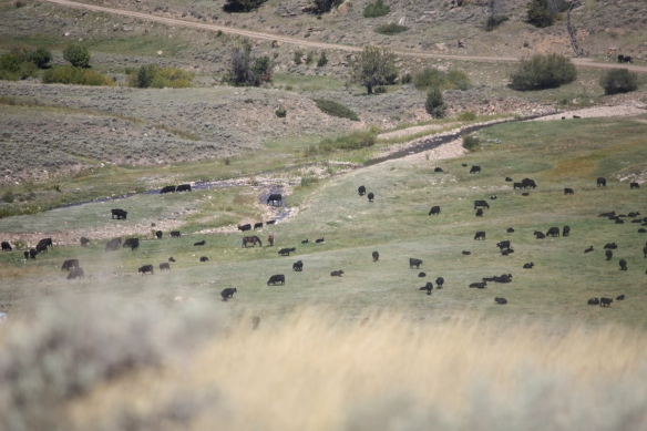 a valley full of beef on the hoof . . . .