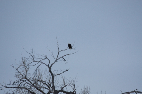 "A mature ""baldie"" hangs out in the tree top . . . ."
