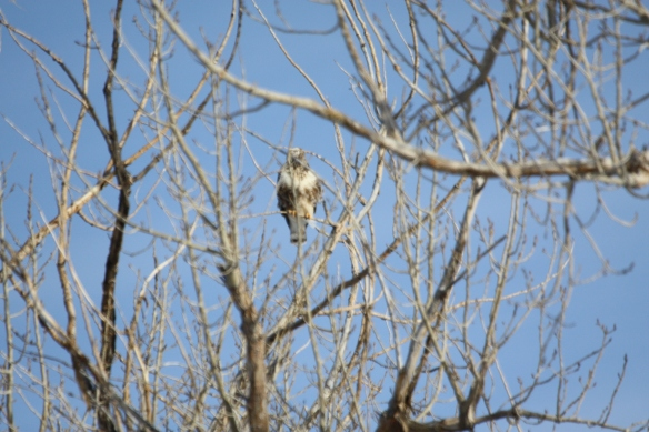 Rough legged hawk . . . .